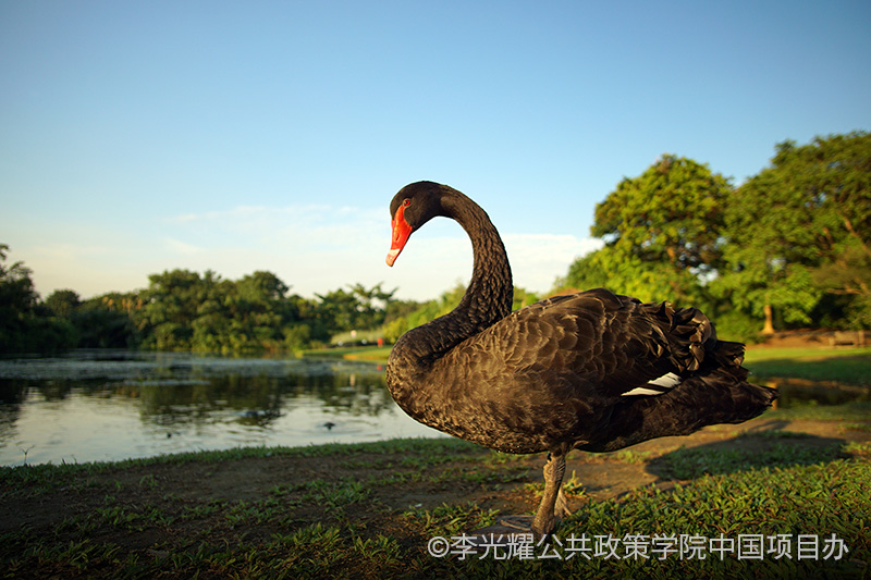black-swan-at-botanic-garden